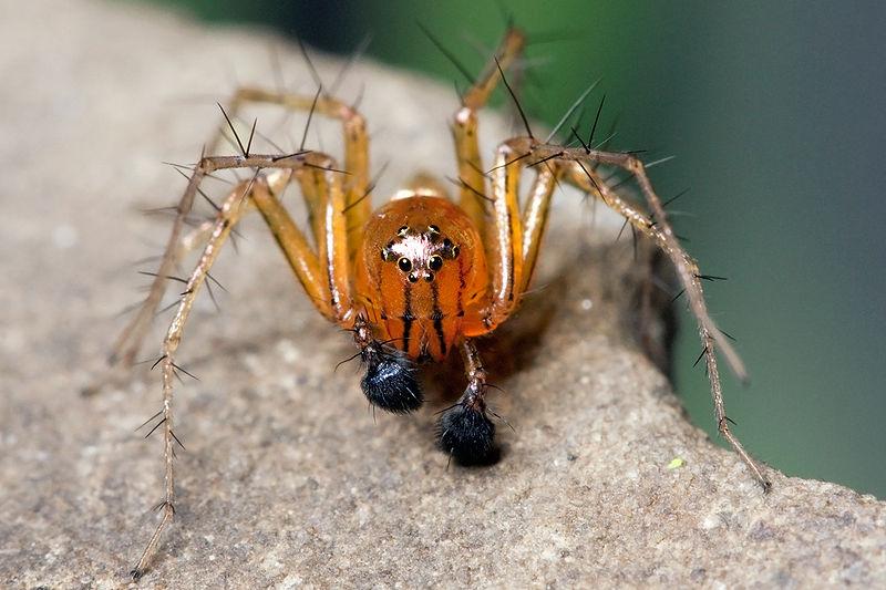 Pédipalpes vue de près d`une araignée
