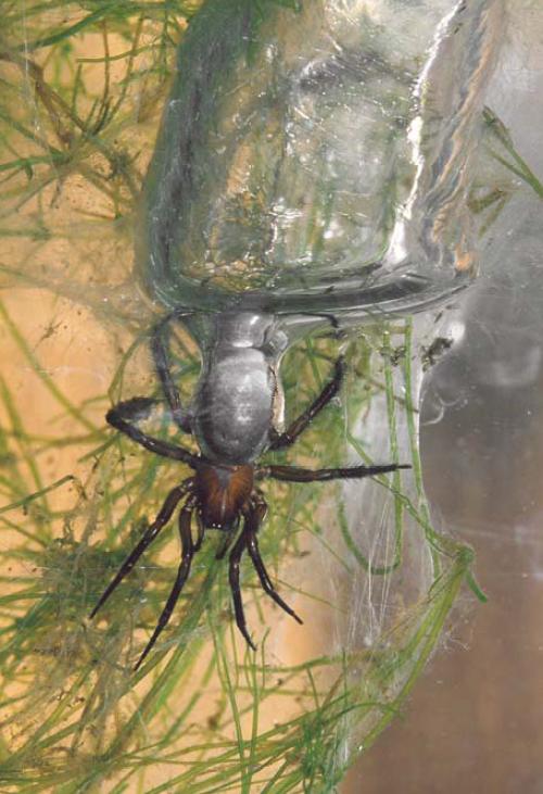 L`Argyronète, une araignée subaquatique